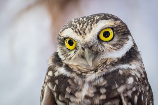 Don't miss the burrowing owls when you visit Cape Coral!